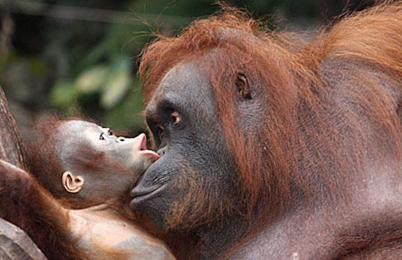 Sepilok Orangutan Sanctuary, Saga